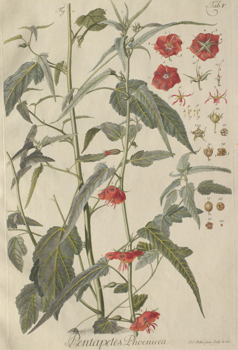 10 seeds Pentapetes phoenicea,hibiskus ähnliche selten angeboten 10 Samen